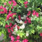 kwiaty Cypru